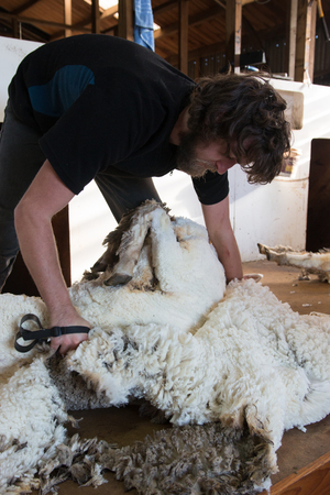 shearer: Process of blade-shearing of a sheep
