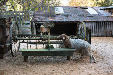 animal husbandry: Two sheep and old harrow on country yard, Canterbury, New Zealand Stock Photo
