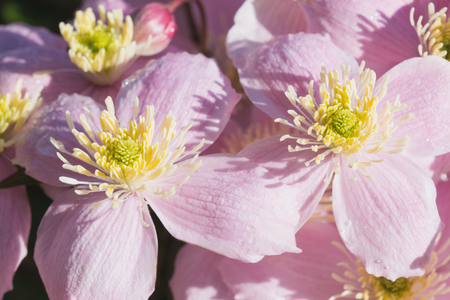 clematis: Background of pink flowers of Clematis Stock Photo