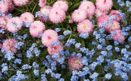 vigorous: Background of pink bellis and blue flax flowers Stock Photo