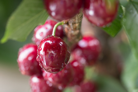 color water: Cherry berries on branch of cherry tree