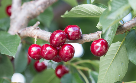 fruit drop: Branch of cherry tree with berries