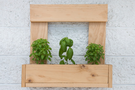 green herbs: Wooden planter with three basil plants Stock Photo