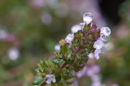 water thyme: Water drops on a stem of thyme Stock Photo