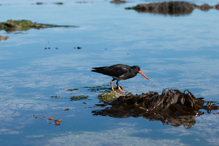 variable: Variable oystercatcher on shallow water, Canterbury, New Zealand