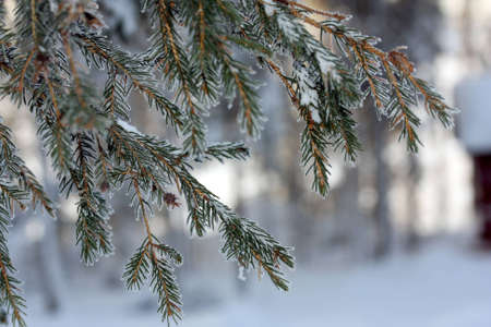 Branch of the spruce in frost photo