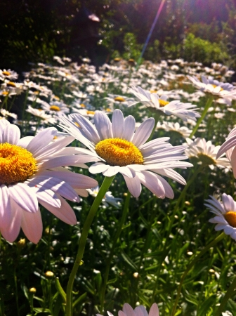 daisys: A field of flowers during a sunset in the Tennessee Mountains