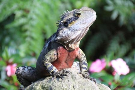 Australian Lizard photo