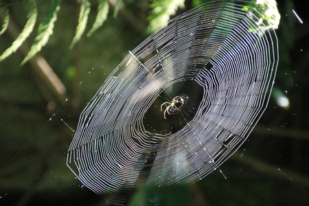 Spider in Spiderweb photo