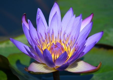 Single purple lotus blossom on a pond photo