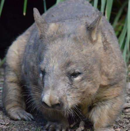 wombat: Marr�n y gris nativo de Australia Wombat