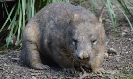 wombat: Marr�n y Gris Native Australian Wombat Foto de archivo
