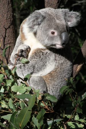 Native Australian Koala sitting in a Gum tree Stock Photo - 13910616