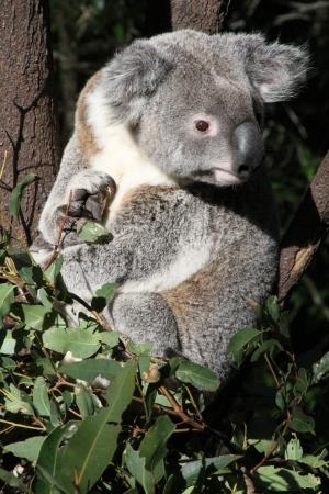 Native Australian Koala sitting in a Gum tree Stock Photo - 13910616