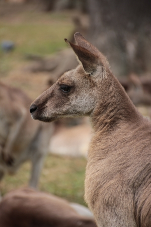 Side profile of a large male Australian Kangaroo photo