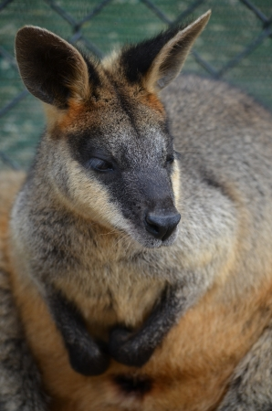 Close up shot of a small Australian Wallaby standing Stock Photo - 14161137