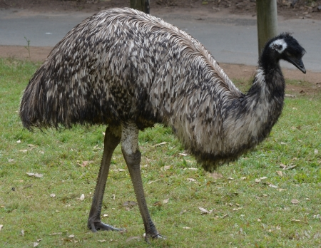 Full body profile shot of an Australian Emu photo