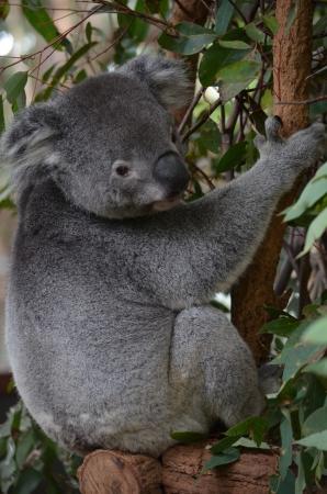 full body shot: Side toma del perfil de todo el cuerpo de un Koala Australiano Foto de archivo