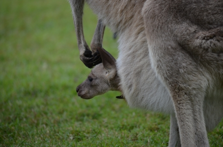 Side profile head shot of a small baby joey kangaroo in mothers pouch photo