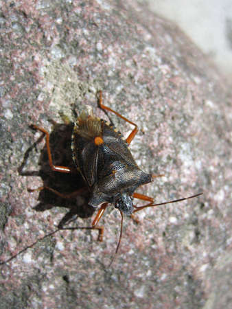 the antennae: A detailed black brown bug with antennae
