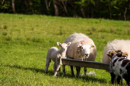 irish countryside: Sheep and lamb
