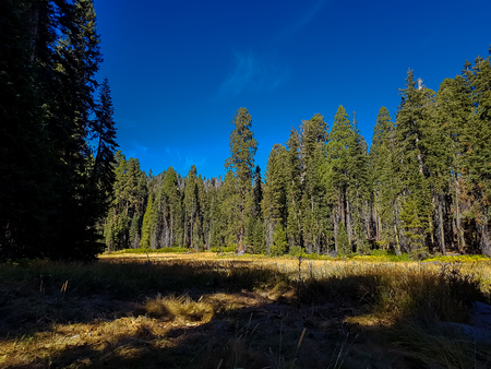 sequoia: View at green woods in California