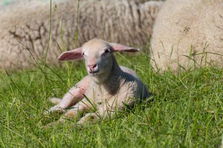 ovejitas: Little lamb relaxing in the sun on a farm Foto de archivo