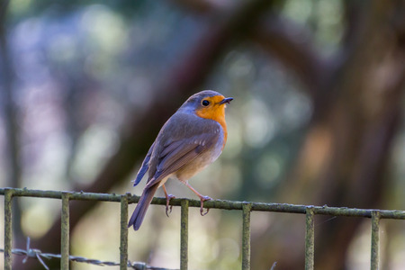erithacus rubecula: Colorful robin sitting on a fence