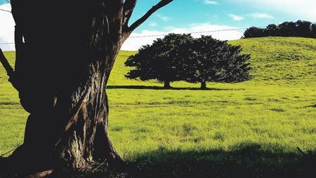 A big tree on a green meadow on the Big Island of Hawaii