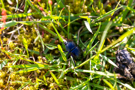 Black taurus beetle; Bullfrog (typhaeus typhoeus) climbing through grass Stock Photo