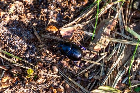 Black taurus beetle; Bullfrog (typhaeus typhoeus) climbing through leaves Stock Photo