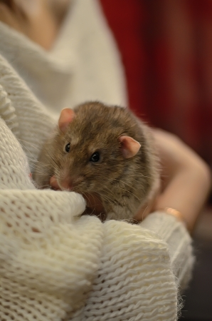 persecution: Rat on hands for a girl