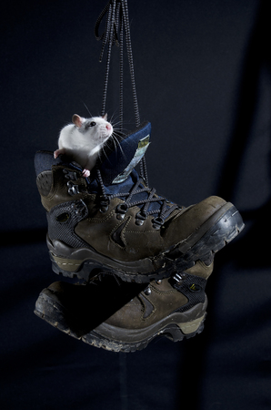 hiking boot: Young rat sits in an old hiking boot. Stock Photo