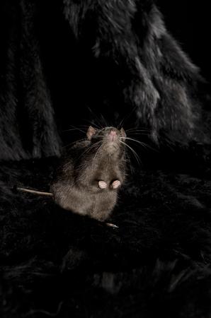 rat noir sur manteau de fourrure fabriqués à partir de loup noir.