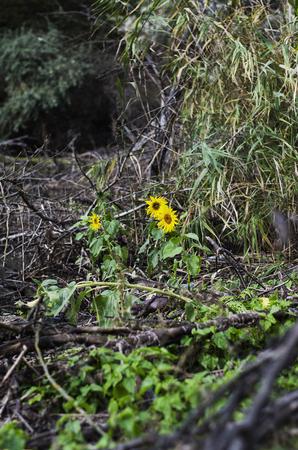 The bright sunflower flower grows on a gloomy swamp.