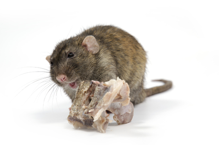 A rat gnaws meat from bones on a white background.