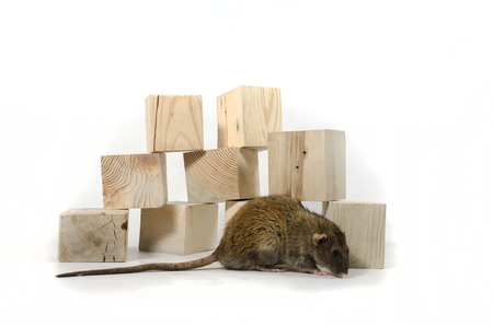 Rat and wooden cubes on a white background. 스톡 콘텐츠