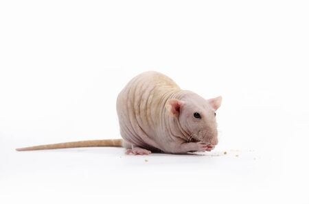 Decorative rat eats dry bread on a white background. 스톡 콘텐츠