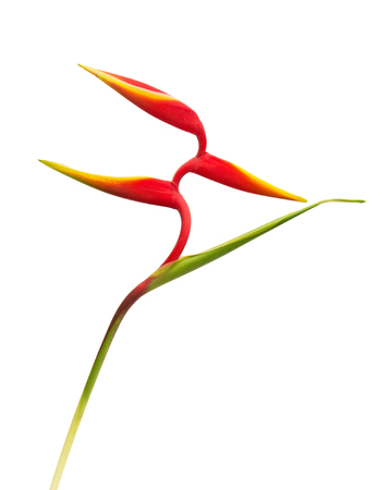 Beautiful red heliconia flower, tropical flower isolated