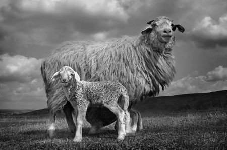 portrait of a sheep with lamb