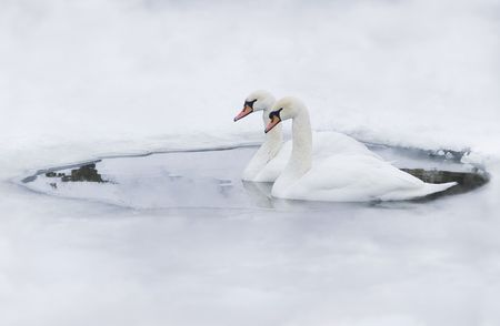 Couple of swans in the ice-hole of a frozen lake Stock Photo - 2925626