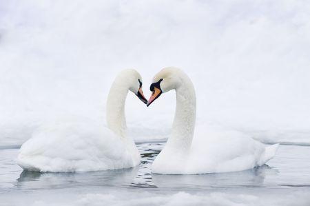 Couple de cygnes formant dans l'eau, formant coeur