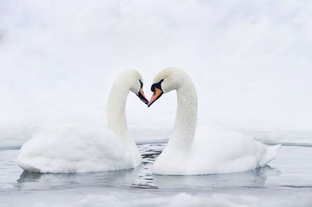 Couple of swans forming in water forming heart