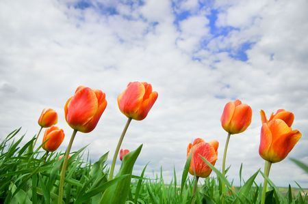 Tulips rising up to the sun, green field on background photo