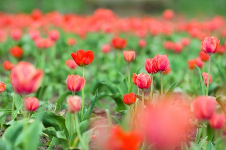 Beautiful tulips growing in the perfect green field  photo