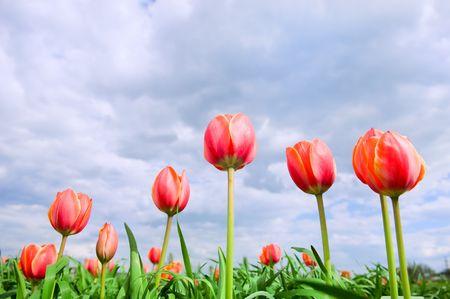 tulips in the perfect green field  Standard-Bild