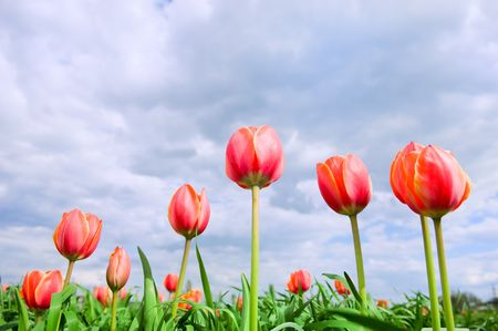 tulips in the perfect green field  photo