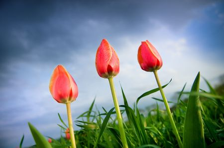 Beautiful tulips growing up in the cloudy sky