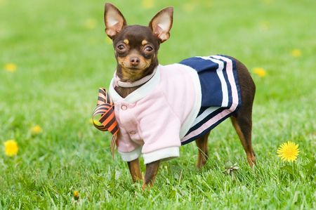 Funny little dog in clothing standing in green grass photo