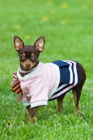 Funny little dog in clothing standing in green grass Stockfoto